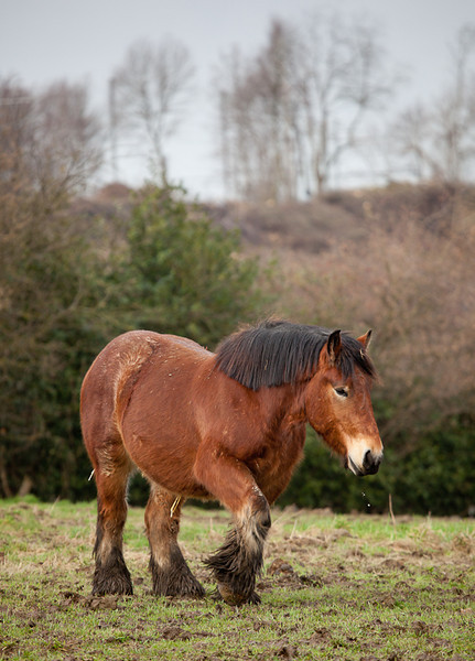 Ardennes horse.
