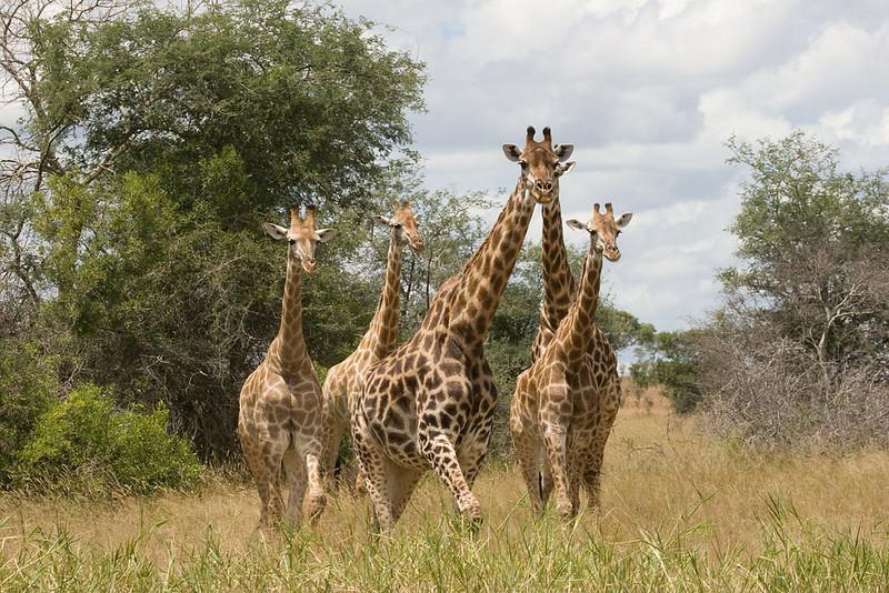 Giraffe herd. Krueger National Park, South Africa.
