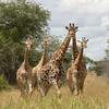 Giraffe herd. Krueger National Park, South Africa.