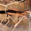 Mink with White-footed Mouse that it caught in front of me.