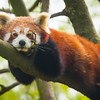 Red panda (ailurus fulgens).