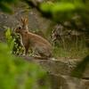 European rabbit <i>(oryctolagus cuniculus)</i>.