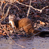 Mink with White-footed Mouse that it caught in front of me