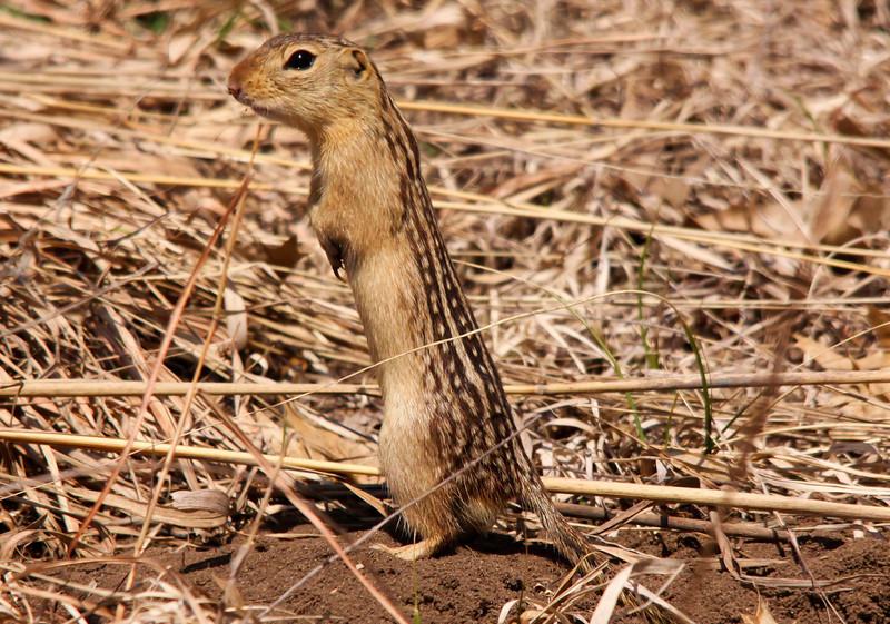 Thirteen-lined Ground Squirrell