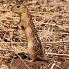 Thirteen-lined Ground Squirrell