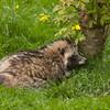 Raccoon dog (nyctereutes procyonoides).
