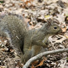 Grey Squirrell