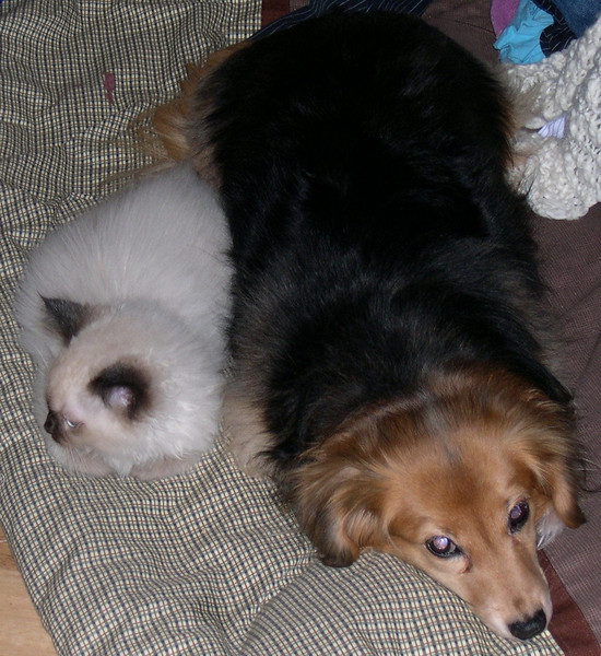 Azrael (kitten) and Cordelia<br /> Cordelia may -look- like a dog, but she knew in her heart that this was her kitten... puppy... errr....