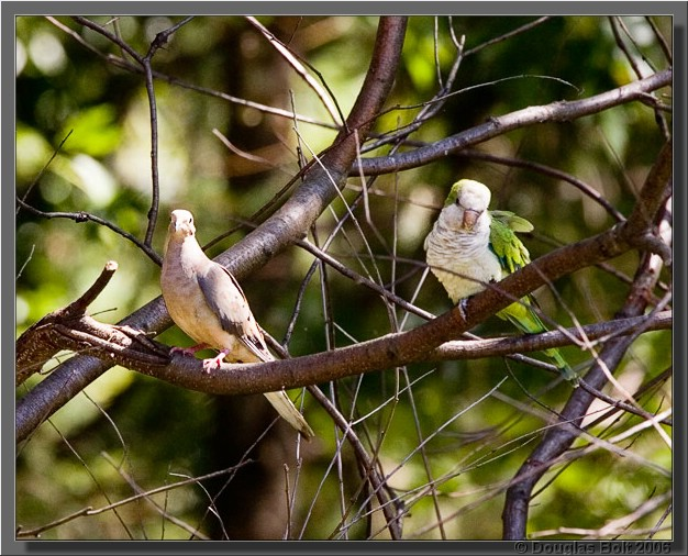 Neither the Mourning Dove nor the Monk Parakeet seemed concerned about the other's presence.