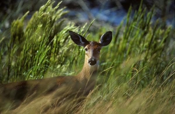 White-tailed deer, doe (Odocoilius virginianus), Everglades October 1986