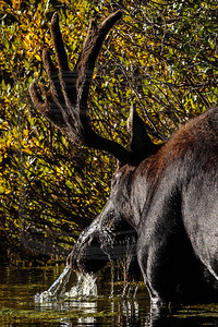 Bull Moose in Silver Lake