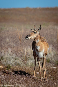 pronghorn, w/o the sheaths