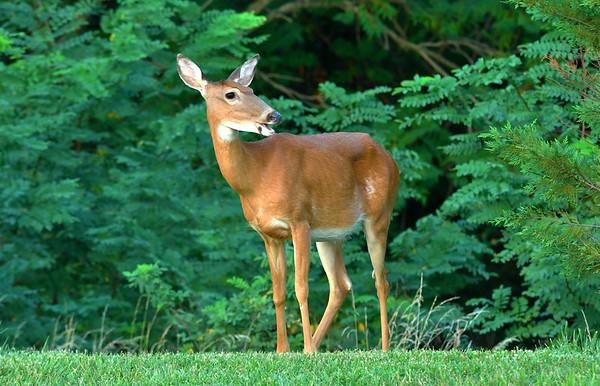 White-tailed Deer (Odocoileus virginianus) in Leesburg, VA