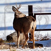 Spike buck, saw him on the way home, walked back to get a shot