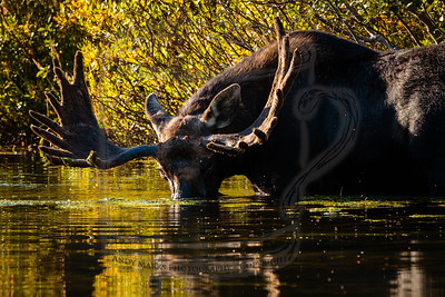 Bull Moose w Silver Lake as fall starts