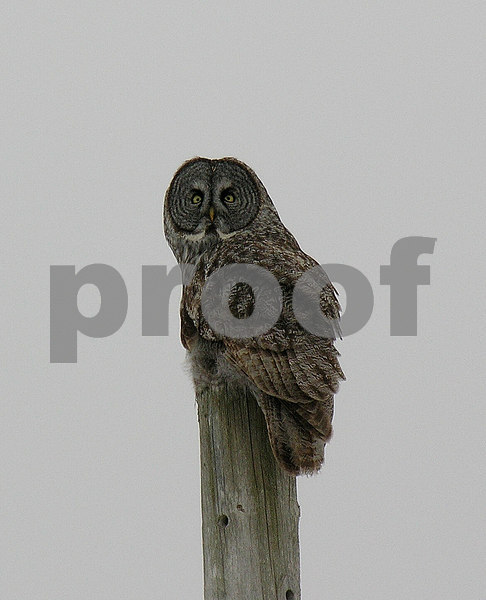 b The Great Grey Owl