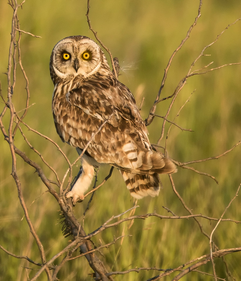 Short Eared Owl at Sunset