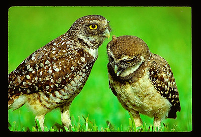 A pair of Burrowing Owls that appear to be communicating with spoken words, one talking in the other's ear.