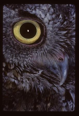 Eastern Screech Owl (Megasops spp)