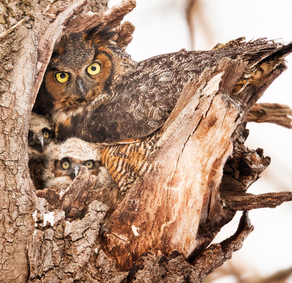 Great horned owl family. Twin Cities, MN