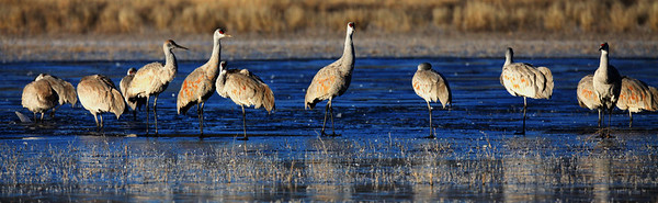 Sandhill Cranes - On The  Ground