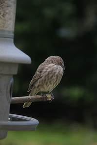 "It's called ""Conditioning""..........and I do not mean the kind that goes in your hair:  When I saw this Purple Finch sleeping on a twig I attached to the feeder just an hour ago (September 22, 2013), I knew I was beginning to accomplish what I seek.  I want to get the birds so conditioned to seeing me in the window that I can go right up to the window and not scare them.  Although this bird is within 2-3 feet of me, it is sleeping!    That is trust.  You can do this at your feeder too."