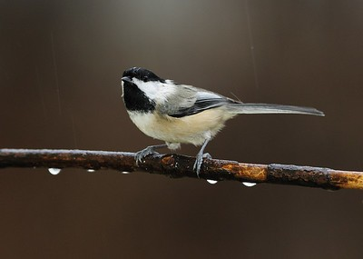 Black-capped Chickadee in the rain.