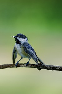 Gotta Love the Black-capped Chickadee!