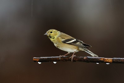 Female Goldfinch in the rain.