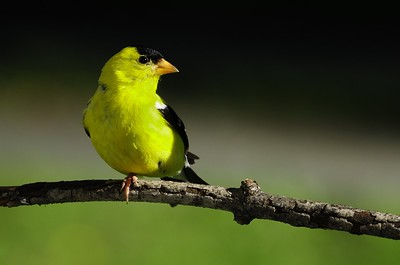 American Goldfinch (Summer male)