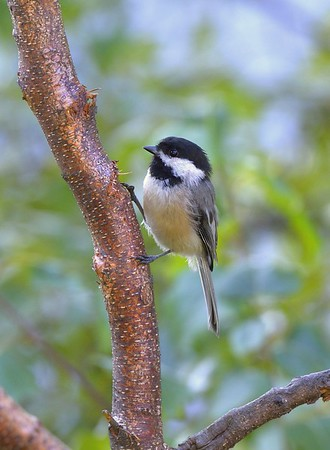 Black-capped Chickadee on Old Gray Birch