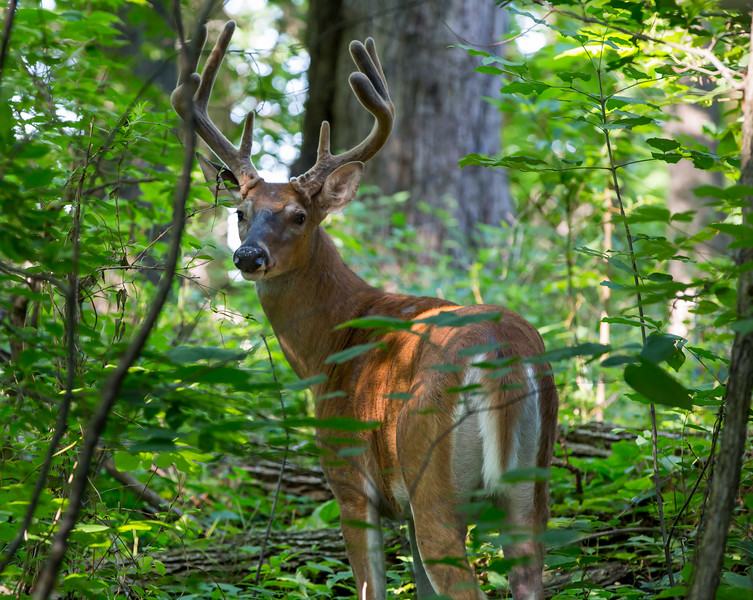 Was lost in the smallest park in the county.  Kept walking in circles and was convinced that if I continued to take right turns that I would find my way back to the barns.  This buck was on the level 4 trail, and I followed it and there he was, calm as can be ...