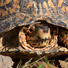 2014-10-15. Box Turtle<br /> Looks like a very wise old guy.