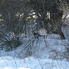 (190) Pheasant in Thicket