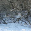 (181) Pheasant in Thicket