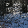 (182) Pheasant in Thicket