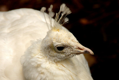Albino peacock, I think!