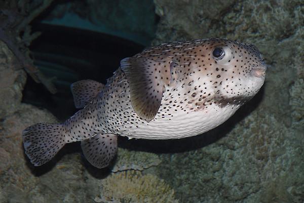Triggerfish, Filefish, Boxfish, and Puffers