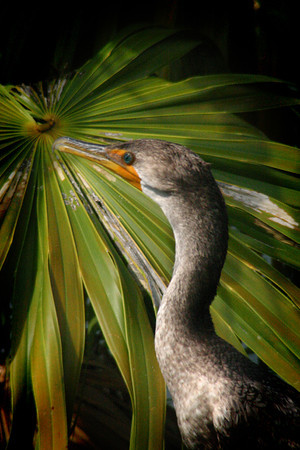 Cormorant in Florida