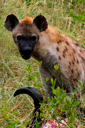 Hyena in South Africa