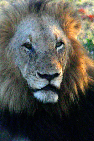 King of the Beasts in South Africa