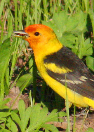 Western Tanager in Wyoming