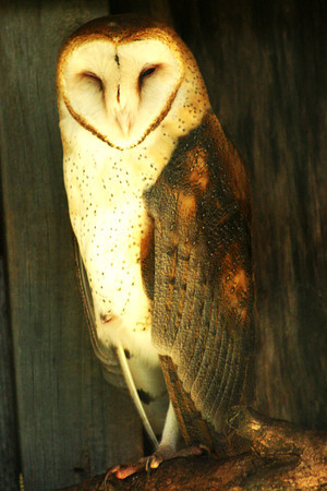 Barn Owl in Georgia