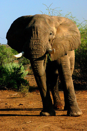 Agitated Elephant in Botswana