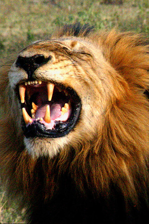 Agitated King of the Beasts in South Africa