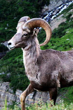 Big Horn Sheep in Montana