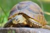 The Kleinmann's tortoise ~ Testudo kleinmanni