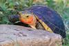 Yellow-Marginated Asian Box Turtle ~ Cuora flavomarginata