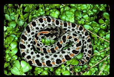 Dusky Pigmy Rattlesnake (Sistruus miliarius barbouri).