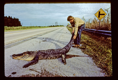 Large Alligator, road-killed on previous night, being removed from highway.  Yup, that's me in about 1986 working as a Wildlife Biologist for Florida's Fish and Wildlife Conversation Commission.  Somebody had to do it. :).  I love and deeply miss the Everglades.     I can smell it there in this image right now.......I think it is the sugar cane that I smell.  The cane farms are about 10 miles up the road on the left side of the road.  Boy do I miss the glades......especially in the Spring through Summer months.  Those are the most exiting months.  God get me back there somehow and let it be a prosperous move!